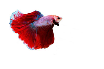 Siamese fighting fish isolated on white background.(Thailand)
