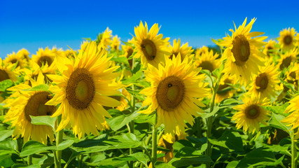 Sunflowers at a sunny summer day