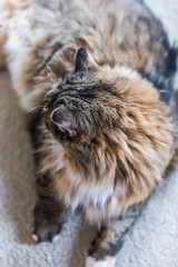 Portrait closeup of calico tabby maine coon cat lying down