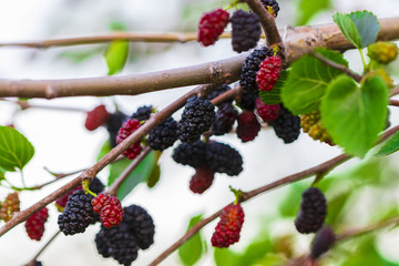 Fresh mulberry , black ripe and red unripe mulberries on the branch