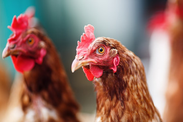 Brown hens in a farm. Chickens in henhouse. Shallow depth of field. Selective focus.