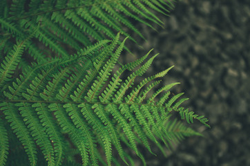 Fototapete - Focused green fern in forest. Nature exotic illustration
