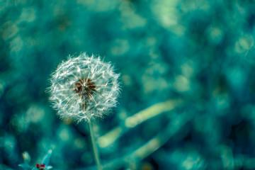 Dandelion white on blurry nature background