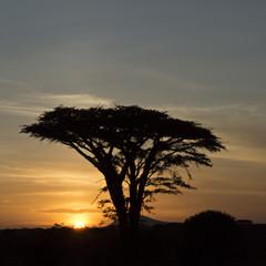 Acacia Sunset 2