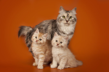 Mom cat and kittens on an orange studio background. The cat family. A cat and two lovely creamy kittens.
