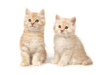 Two cute little kitten on white background. Red and cream kitten isolated on white