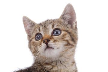 portrait chaton tigré sur fond blanc