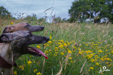 Whippets in the Wild FLowers