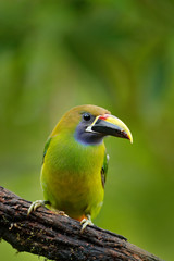 Wall Mural - Exotic bird, tropic forest. Small toucan. Blue-throated Toucanet, Aulacorhynchus prasinus, green toucan bird in the nature habitat, exotic animal in tropical forest, Mexico. Wildlife scene from nature