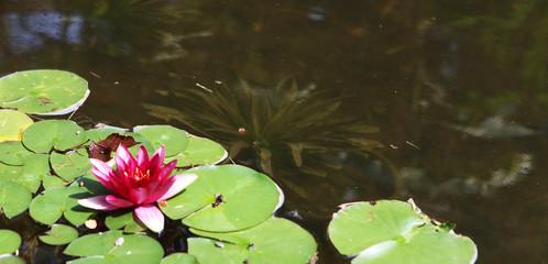 Search Photos Fleur De Lotus