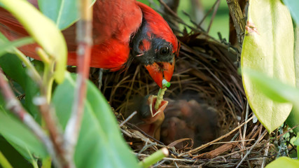 Male cardinal feeding baby in the nest