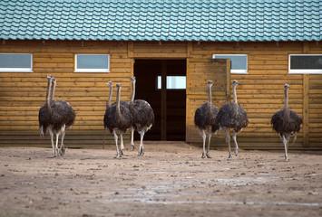 Zelfklevend Fotobehang Struisvogel Ostriches in the paddock on the farm.