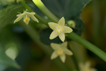 Flor de planta de chayote doméstica 1