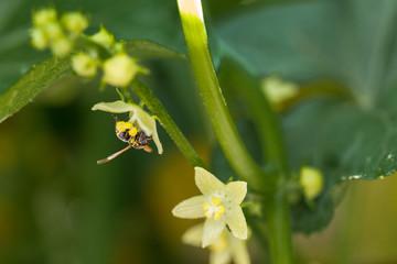 Abeja Cosechando polen 1