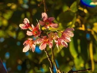 Cherry Blossom in backlight - Sakura flower - Japanese cherry, Prunus serrulata