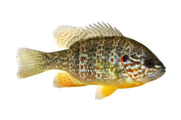 Fish Pumpkinseed Lepomis gibbosus sunfish pond perch