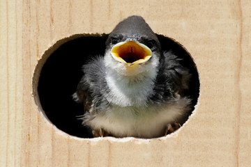 Fotoväggar - Tree Swallow In a Bird House