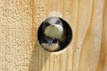 Fotoväggar - Tree Swallow In a Bird House