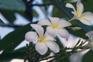 Beautiful frangipani flowers on the tree