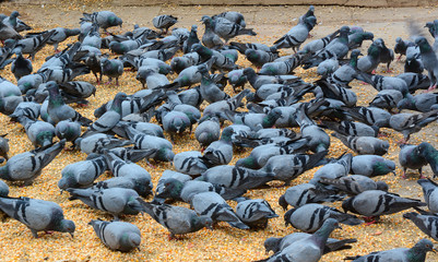 Pigeons eating bread on the square in Delhi, India