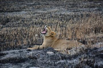 Yawning young lion, Okavango Delta UNESCO World Heritage Site, Botswana, Africa