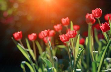 Fototapete - Beautiful Tulip flower in the morning
