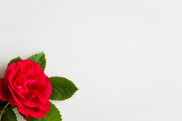 Red rose on the white background. Greeting card. Empty place for a text.