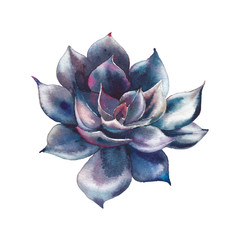 Watercolor black succulent. Hand drawn dark succulent isolated on white background. Botanical illustration.