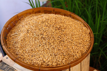 rice seeds in bamboo basket with green rice plant field background.