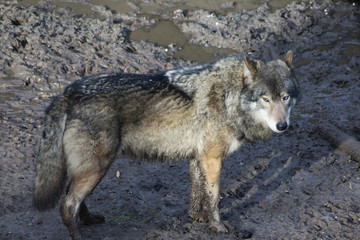The Eurasian wolf (Canis lupus lupus)