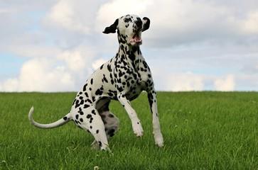 Keuken foto achterwand Honden Dalmatiner springt nach einem Lerckerchen