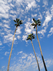 Exotic palm trees on sky background