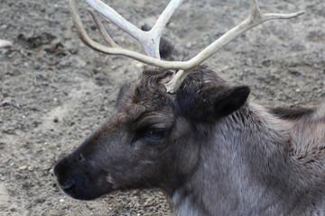 The reindeer (Rangifer tarandus)