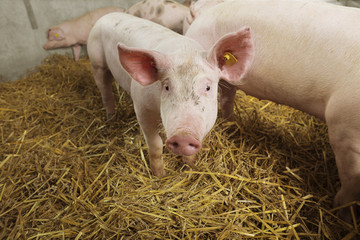 A little, nosy piglet in a straw covered pigsty.