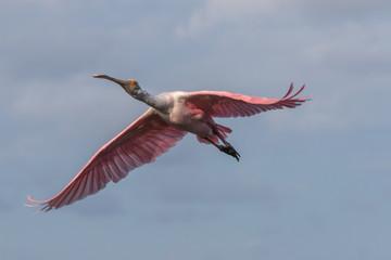 Roseate Spoonbill Flying, J.N. ''Ding'' Darling National Wildlife Refuge, Sanibel Island, Florida, USA