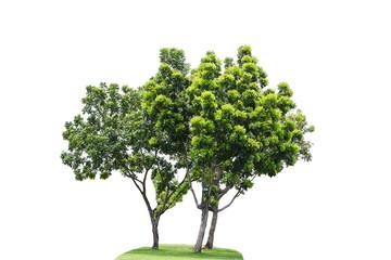 isolated green tree