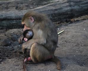 The hamadryas baboon (Papio hamadryas)