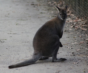 The swamp wallaby (Wallabia bicolor)