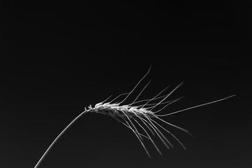 Getreideähre schwarzweiß