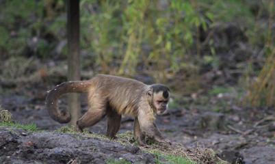 The tufted capuchin (Sapajus apella)