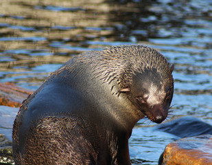 The South American fur seal (Arctocephalus australis)