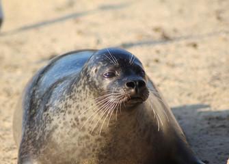 The harbor seal (Phoca vitulina)