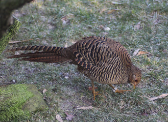 The golden pheasan (Chrysolophus pictus)