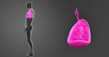 Lungs zoom with body lateral view