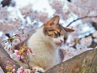 Tabby cat sitting on a sakura tree branch, pink cherry blossom blooming on the background.