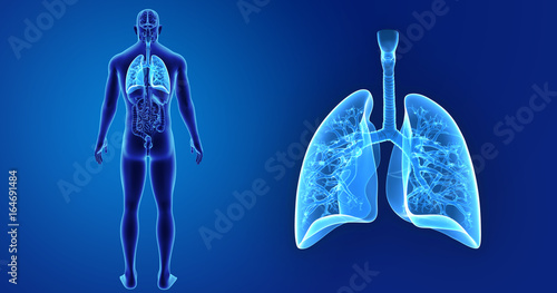 Lungs Zoom With Organs Posterior View Stock Photo And Royalty Free