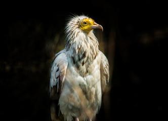 Bird Egyptian vulture