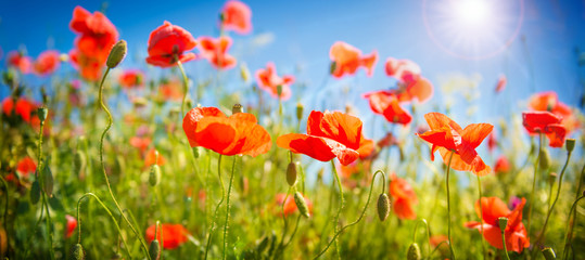 Poppies field at sunlight