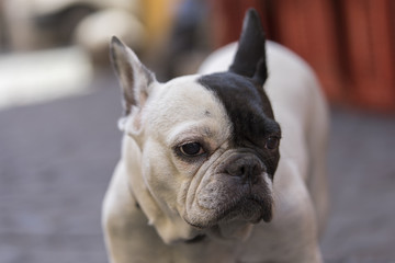 Close up white dog with black ear on the street