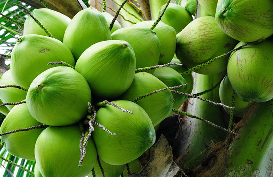 Green young coconut bunch with a flagrant juice.